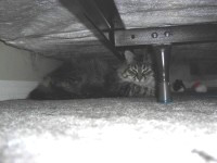 Grey Cat Rabies Under bed