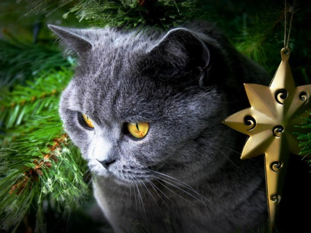 Harvey the Grey Cat Under Christamas Tree