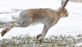 Jackrabbit running