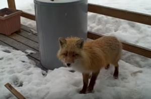 Good Christ the Fox on back porch