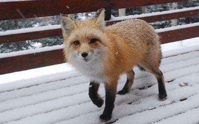 Good Christ the Fox, A Harvey Adventure