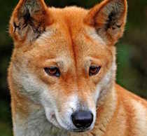 Harpo the Dingo